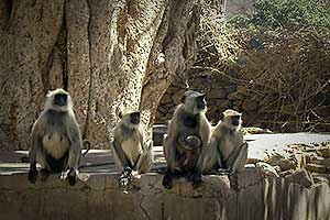 Monkeys Gathered in India